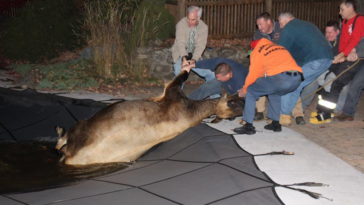 About a dozen people helped pull a cow that fell through a pool cover to safety Sunday night in Harwinton.