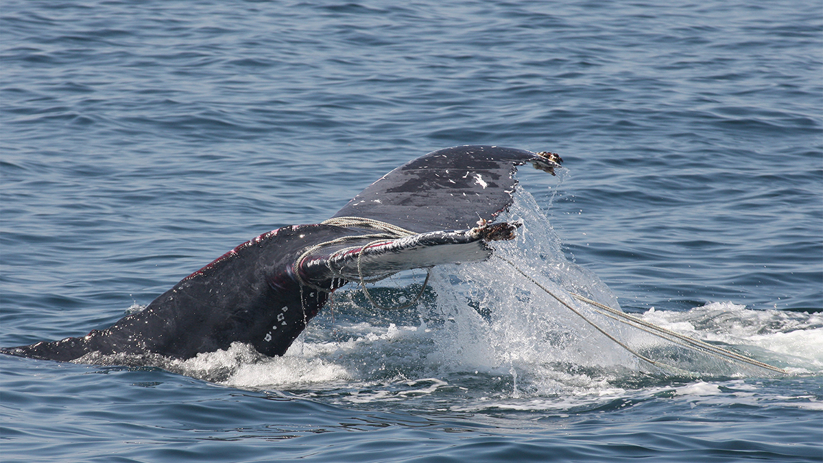 A humpback whale was disentangled by Center for Coastal Studies Marine Animal Entanglement Response team on July 7, 2015. The CCS image was taken under NOAA permit 18786.