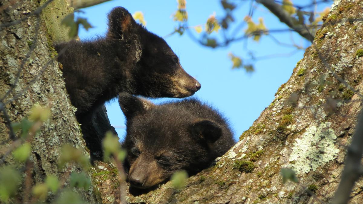FILE- two black bears