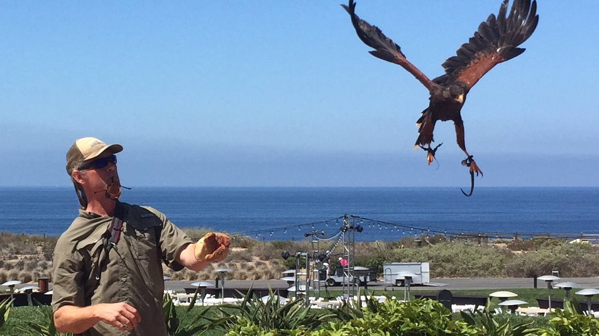 Joe Roy III with one of his Harris hawks at Terranea Resort. He also uses another Harris hawk, a Peregrine falcon, and a Eurasian eagle owl to teach people about birds.