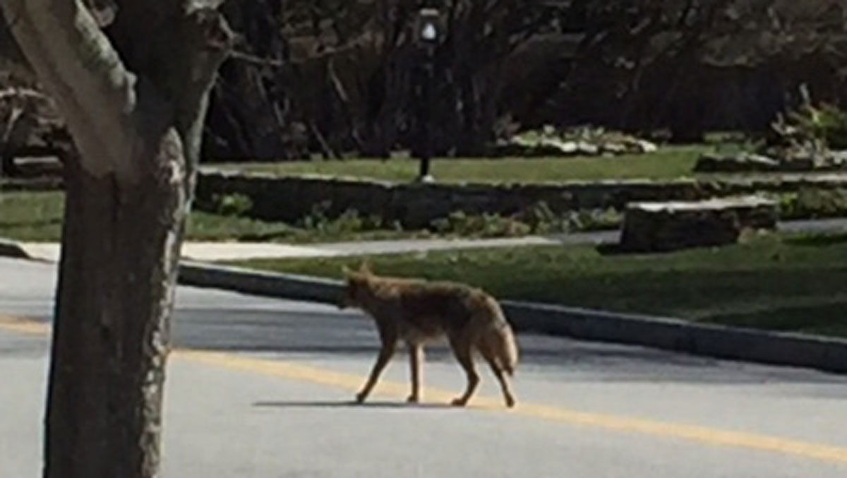 A coyote spotted on Glenwood Avenue in New London in April