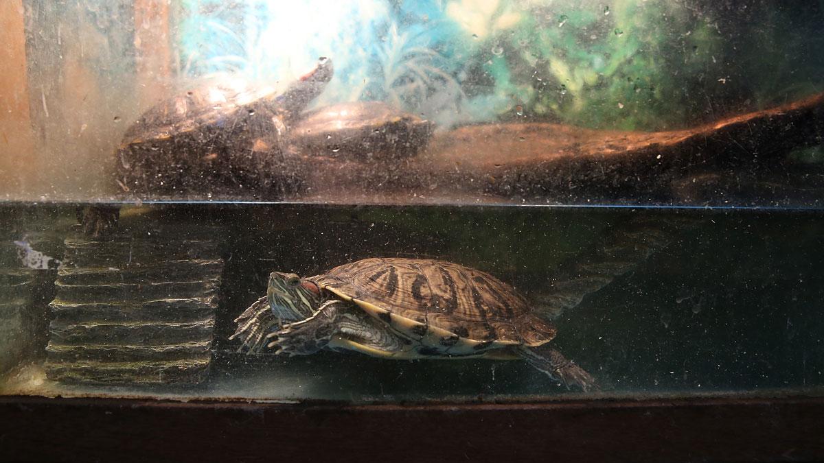 Turtles swim in an aquarium at a pet store on August 11, 2014 in San Francisco, California.