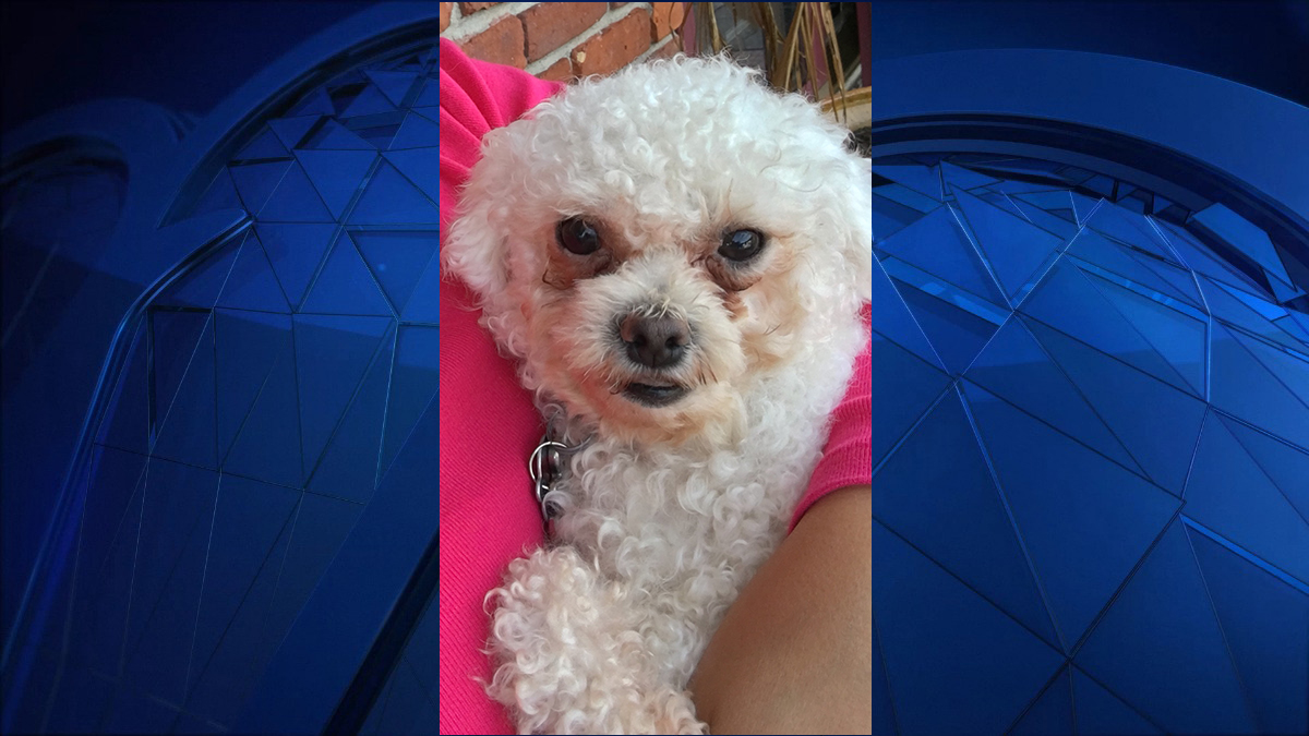 Poochie the Bichon was killed by a coyote in New London Saturday.