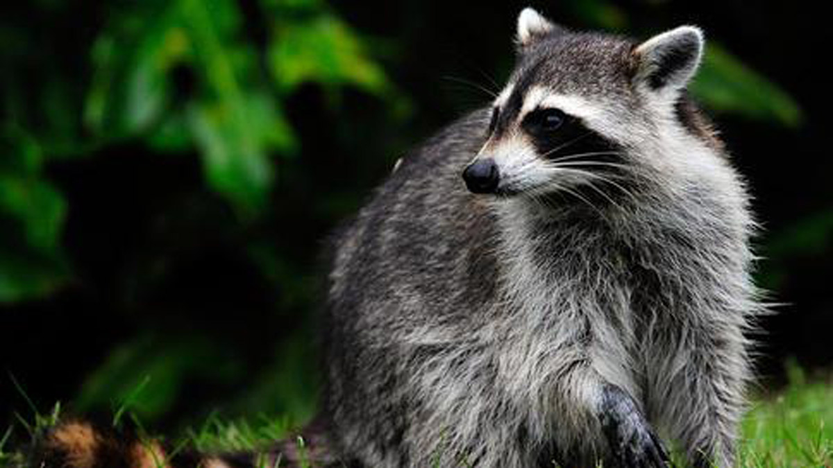 Raccoon generic photo