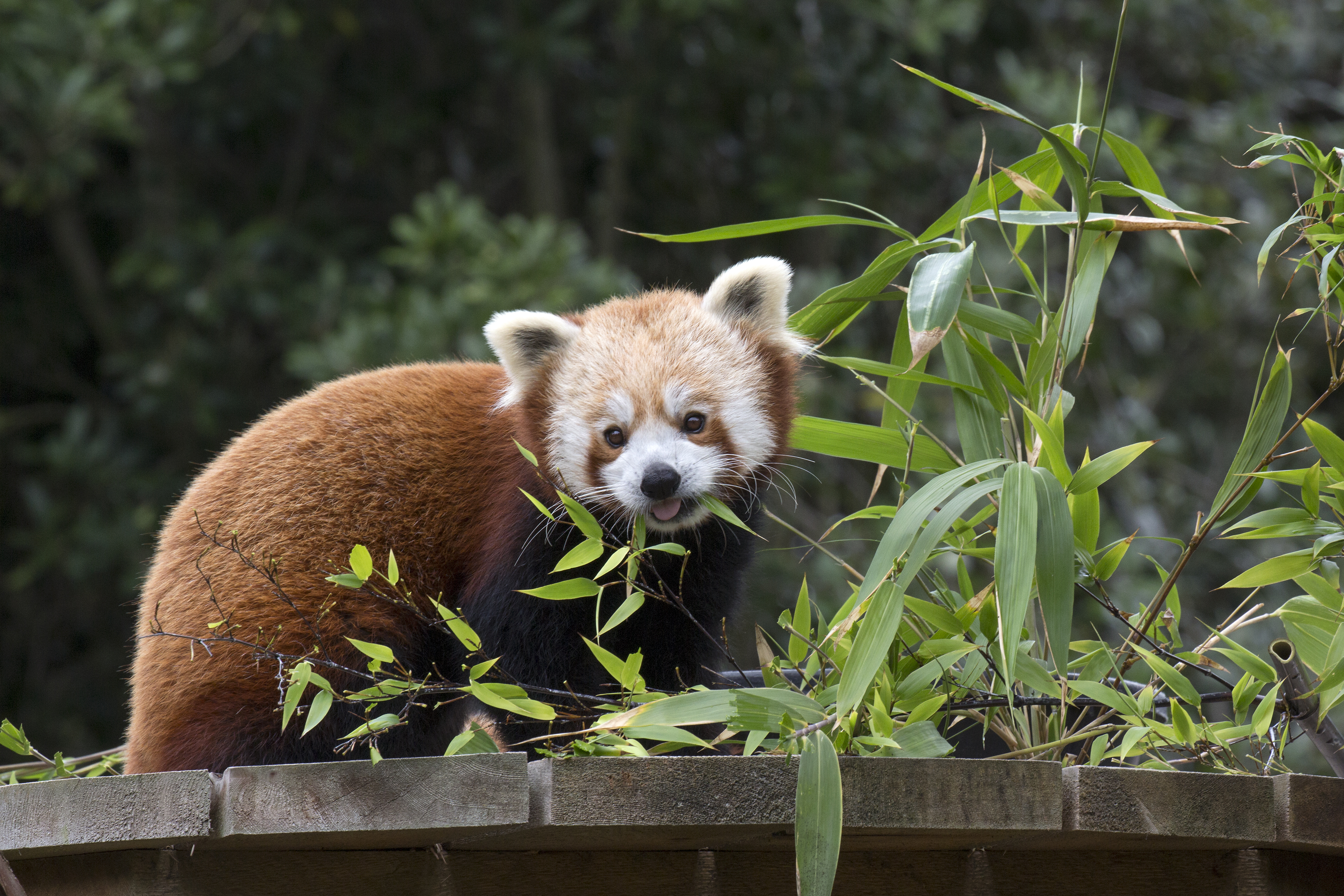 A live stream of the red panda enclosure at the San Francisco Zoo will be on display during Election Day (Nov. 7, 2016).