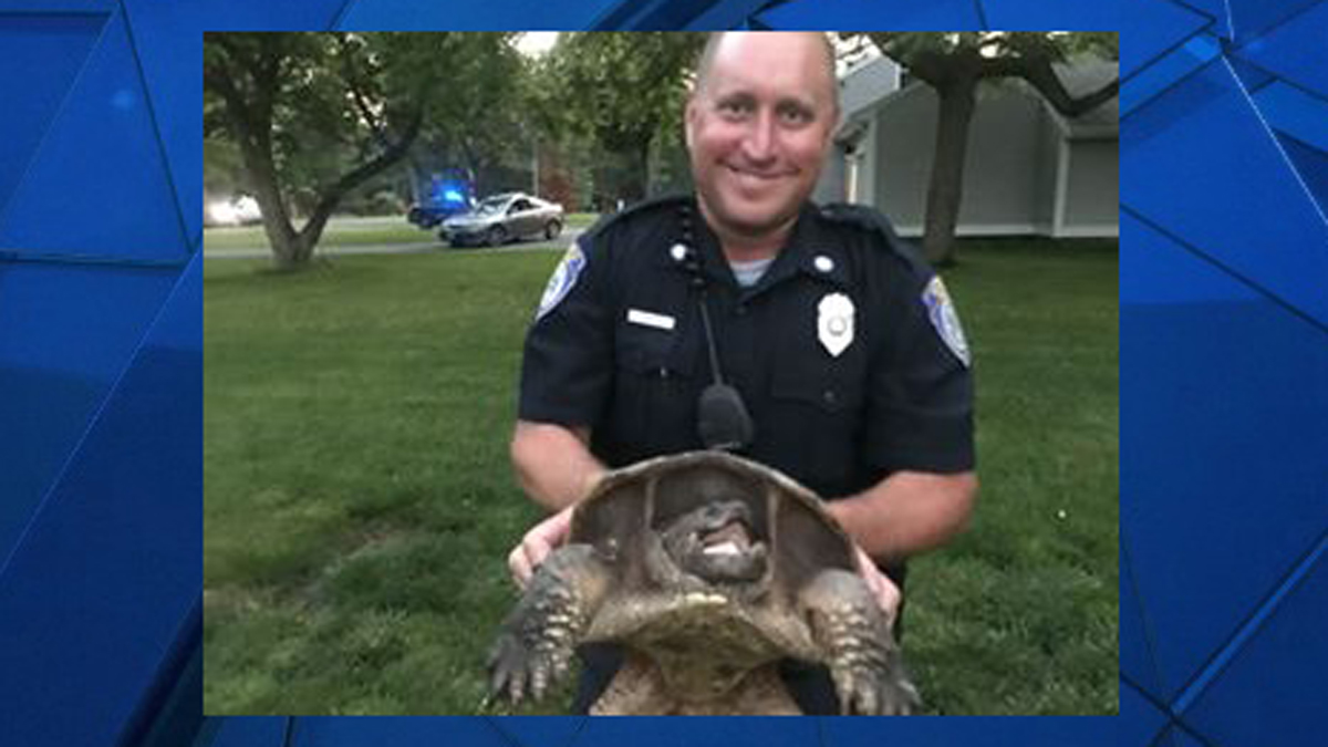 Suffield Police Officer Rob Dabkowski rescued this turtle after a Good Samaritan reported the reptile was trying to cross Bridge Street Monday.