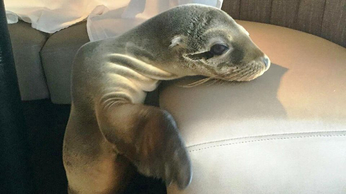 A malnourished and dehydrated sea lion pup made her way into The Marine Room restaurant in La Jolla on Feb. 4. She made herself comfortable, sleeping in a booth in the dining room. She was later rescued by a team from SeaWorld San Diego.