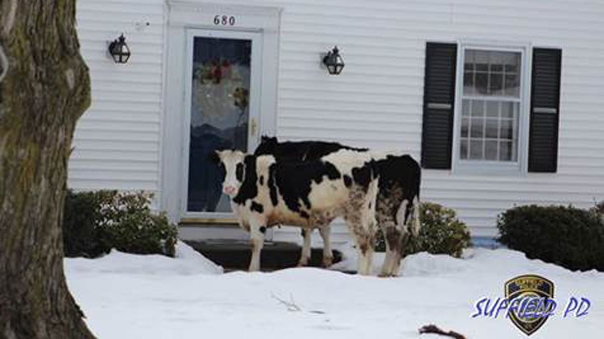 Suffield police corralled some runaway cows Sunday morning.