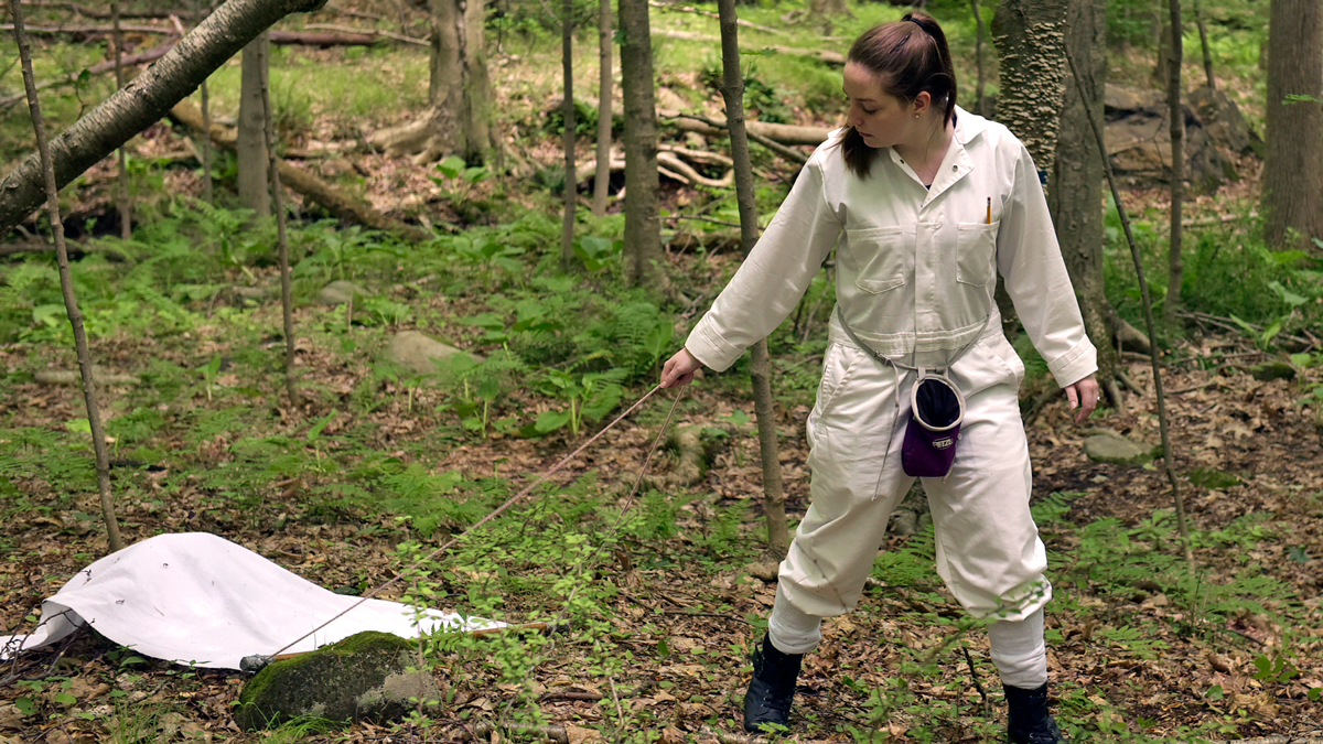 WCSU biology student Brittany Schappach, of New Fairfield, collects ticks during a recent field sample.