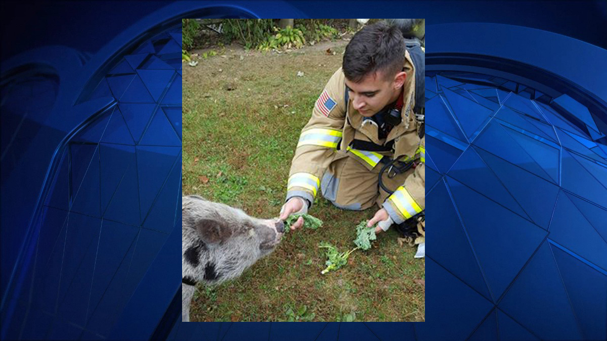 Trumbull firefighters feed Texas the pig after responding to a carbon monoxide alarm Saturday morning.