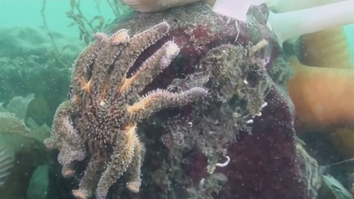 A mysterious disease deforming and killing sea stars along the West Coast has reached the waters off San Diego's coastline.