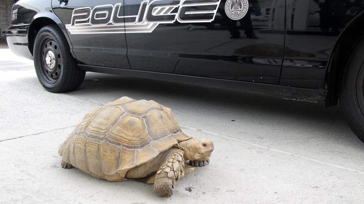 This 150-pound tortoise found in Alhambra on Saturday, August 2, 2014, took two officers to take into custody.