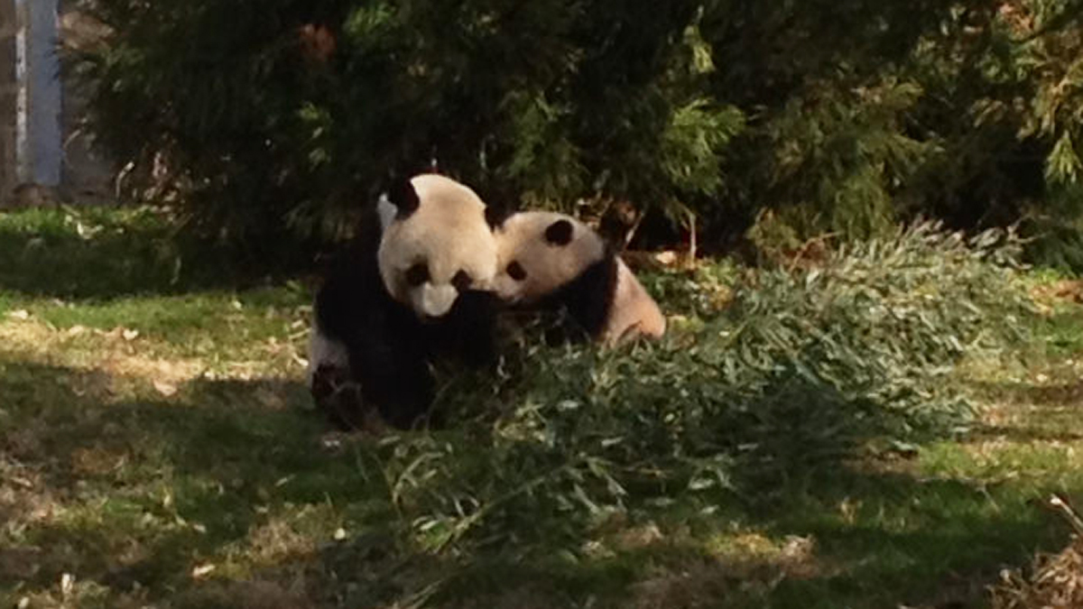 The National Zoo's giant panda cub Bao Bao ventured outside for the first time Tuesday, April 1. Bao Bao and Mei Xiang share a snuggle while outside in the yard.