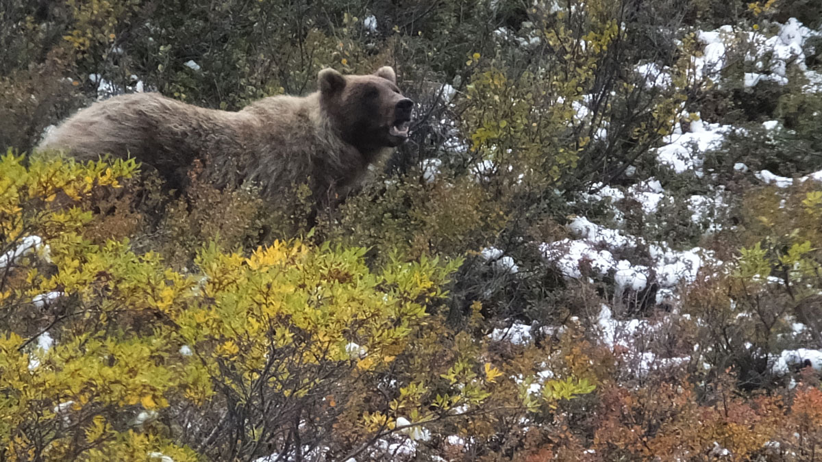 Bill Would Allow Hunters to Target Bears, Wolves in Alaska