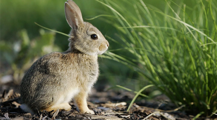 A pet rabbit (not pictured) was stolen during a home invasion in Massachusetts.