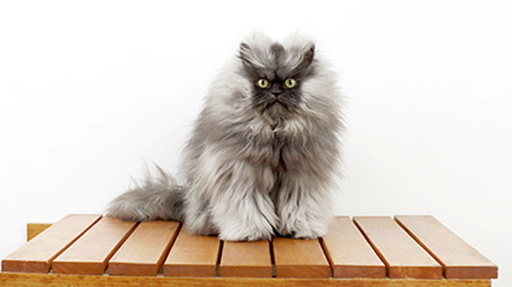A photo of Colonel Meow from his Facebook page.