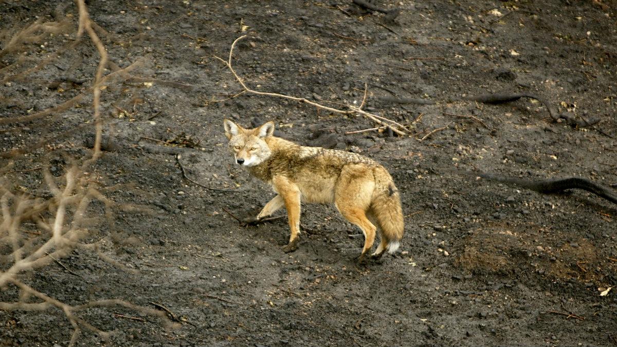 (A coyote walks through a forest east of Lake Arrowhead, California.)