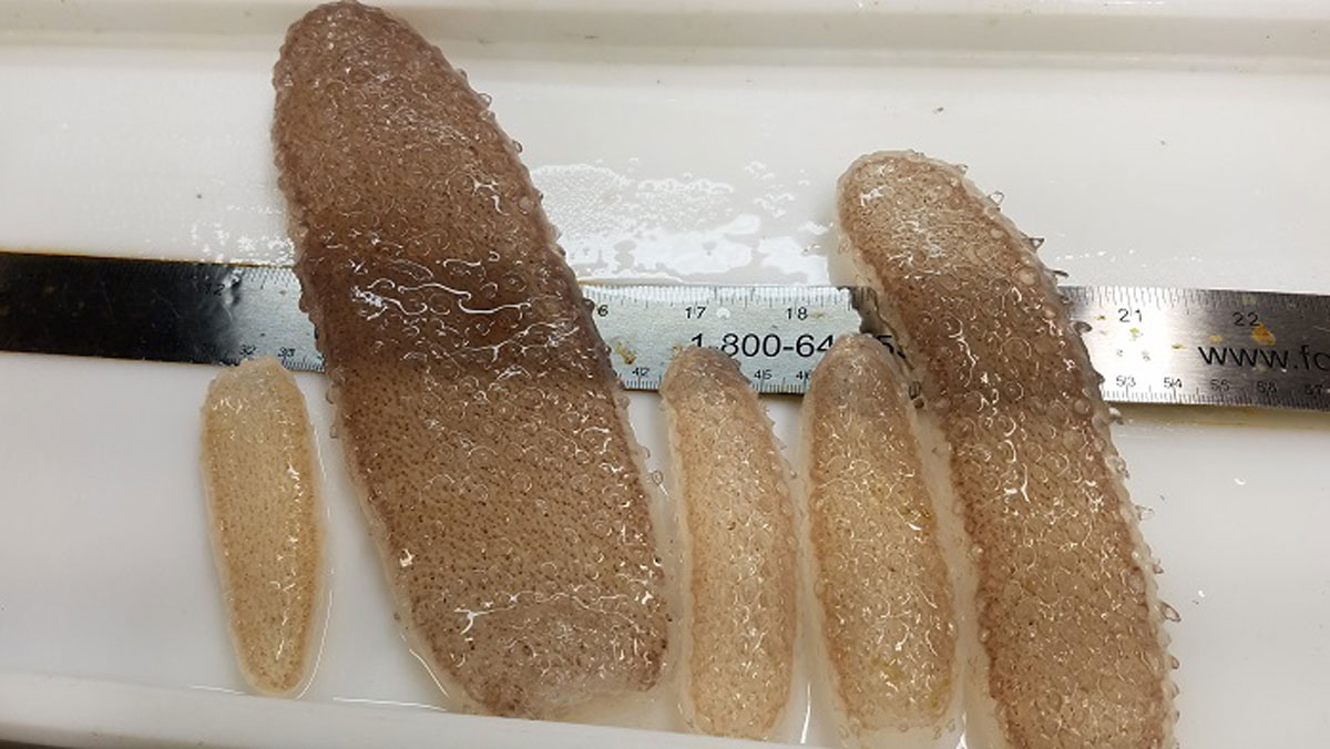 These pyrosomes were found off the Oregon coast in June 2017.