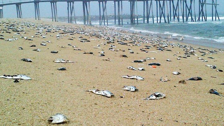 Dead fish in Belmar, N.J.