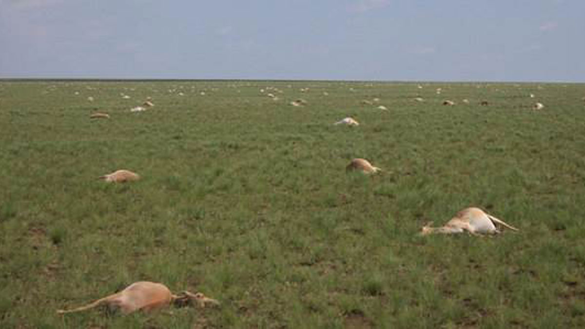 In May 2015, nearly half of all the saigas, a critically endangered antelope that roams the steppe of Kazakhstan, died off.