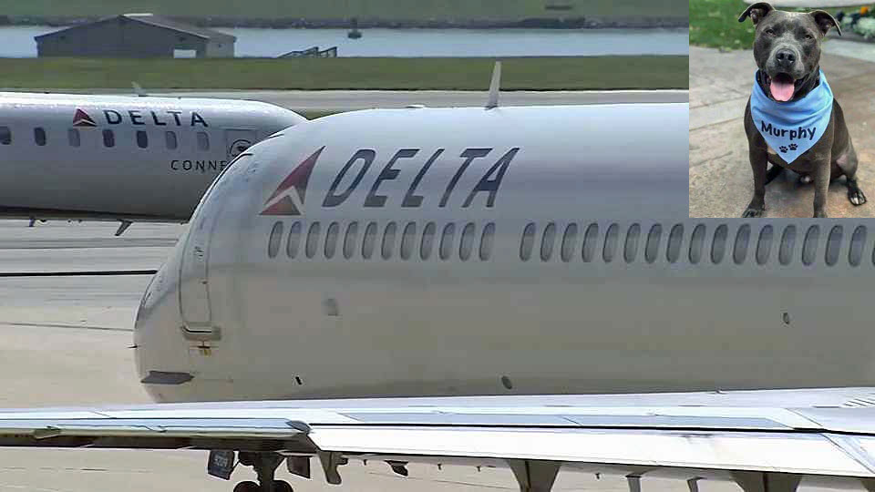 Delta Airlines placed a ban on all pit bull-type dogs as service or support dogs on its flights. (July 17, 2018)