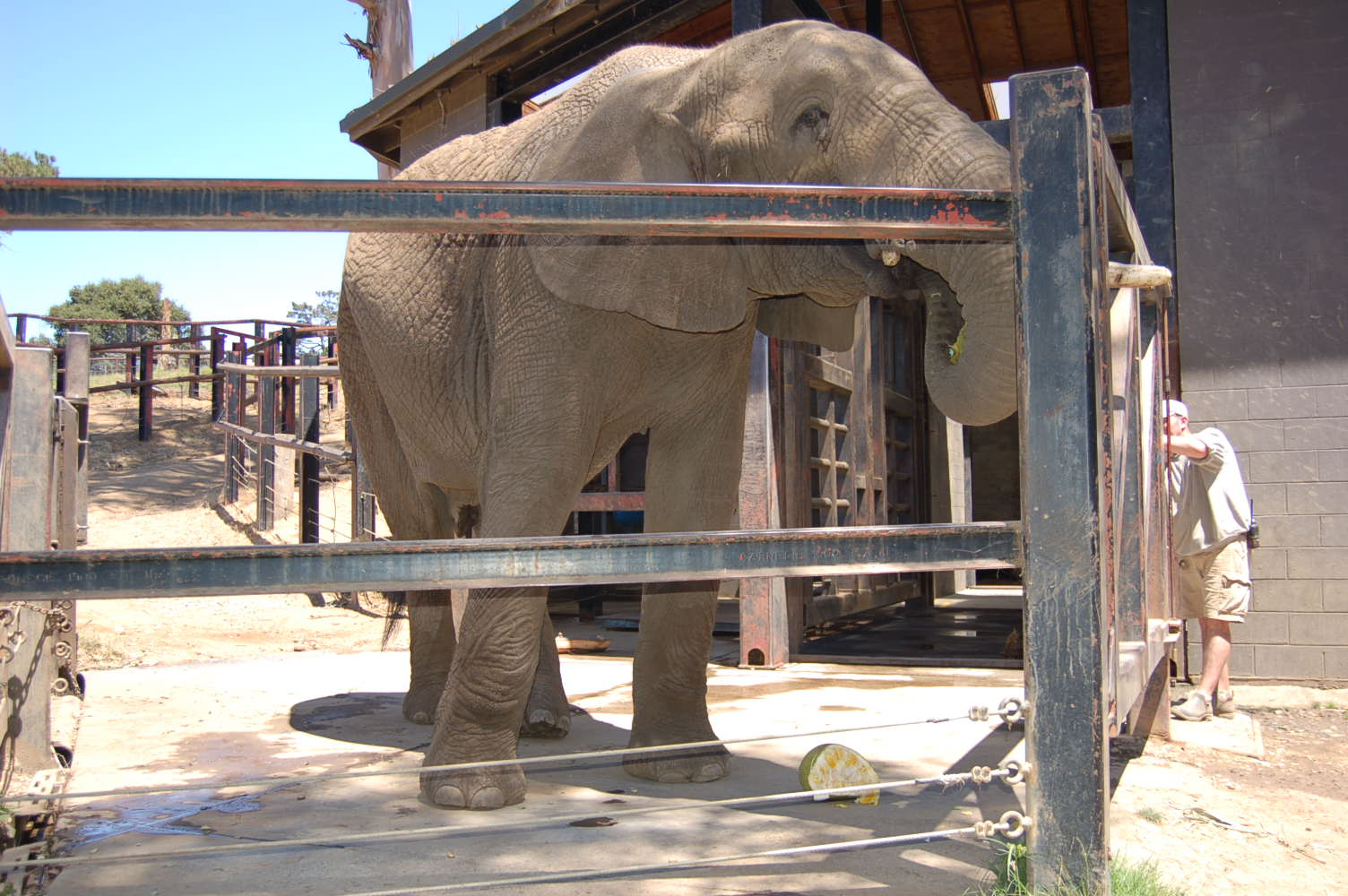African elephant, Osh, tries jack fruit for the first time at the Oakland Zoo. July 30, 2014