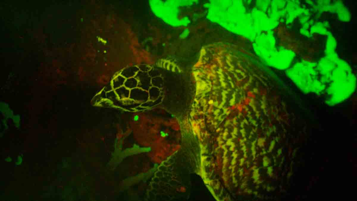 A Hawksbill sea turtle with apparent biofluorescent ability was discovered by marine biologist David Gruber and his team in the Solomon Islands. The turtle is said to be the first reptile to show the ability.