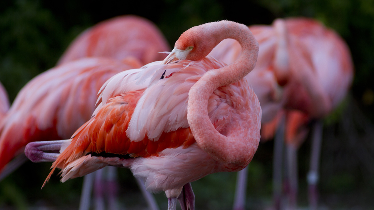 FILE PHOTO: An American flamingo picks its feathers Friday, July 30, 2010 in Miami at the Metrozoo as temperatures soared into the mid 90s. A zoo in the Czech Republic said a flamingo was killed by three young boys last week.