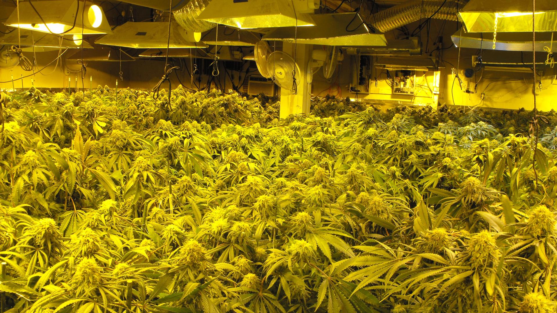 Some of the 1,000 marijuana plants growing inside