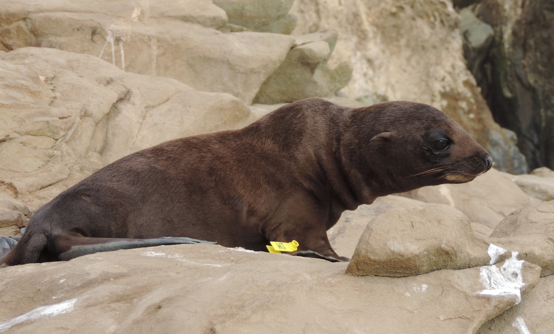 Scientists are looking at ocean-warming trends to figure out why endangered Guadalupe fur seals are stranding themselves and dying in alarming numbers along the central California coast.