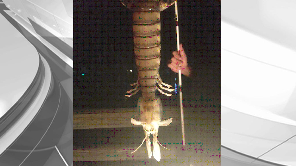A mantis shrimp caught off the coast of Fort Pierce, Florida.