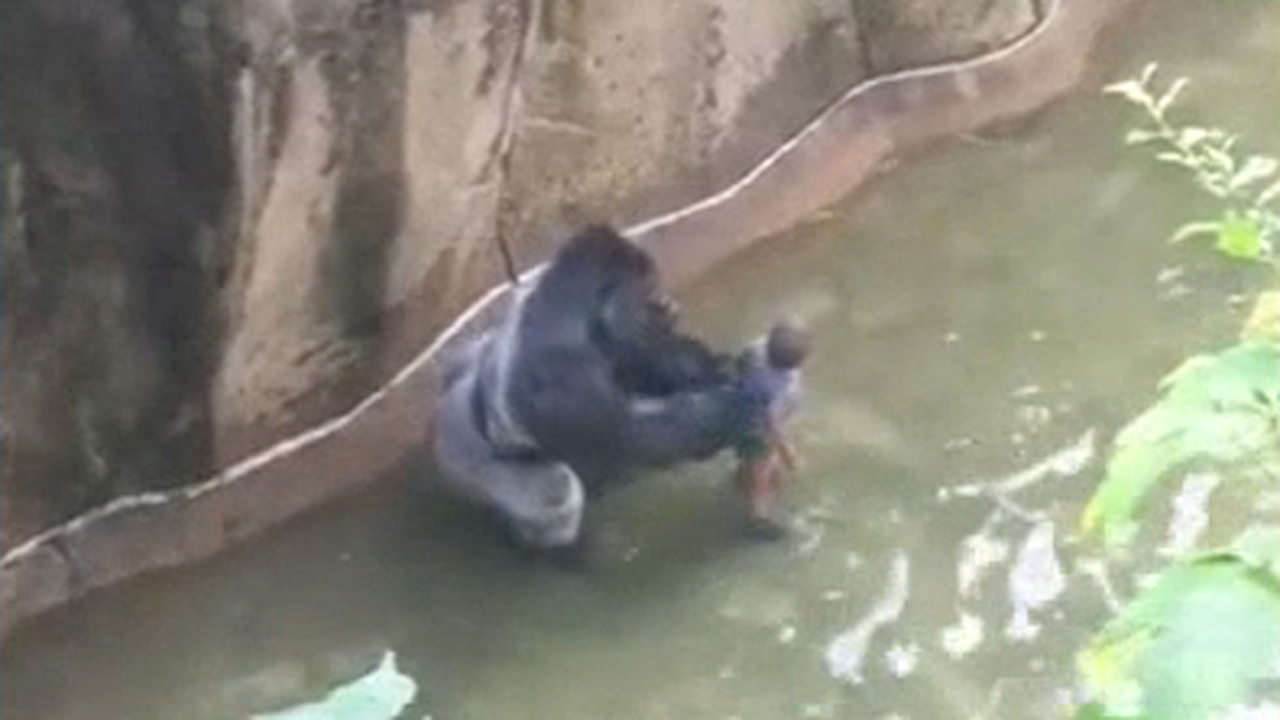 A silverback gorilla grabs a boy who fell into its exhibit at the Cincinnati Zoo on Saturday, May 28, 2016.