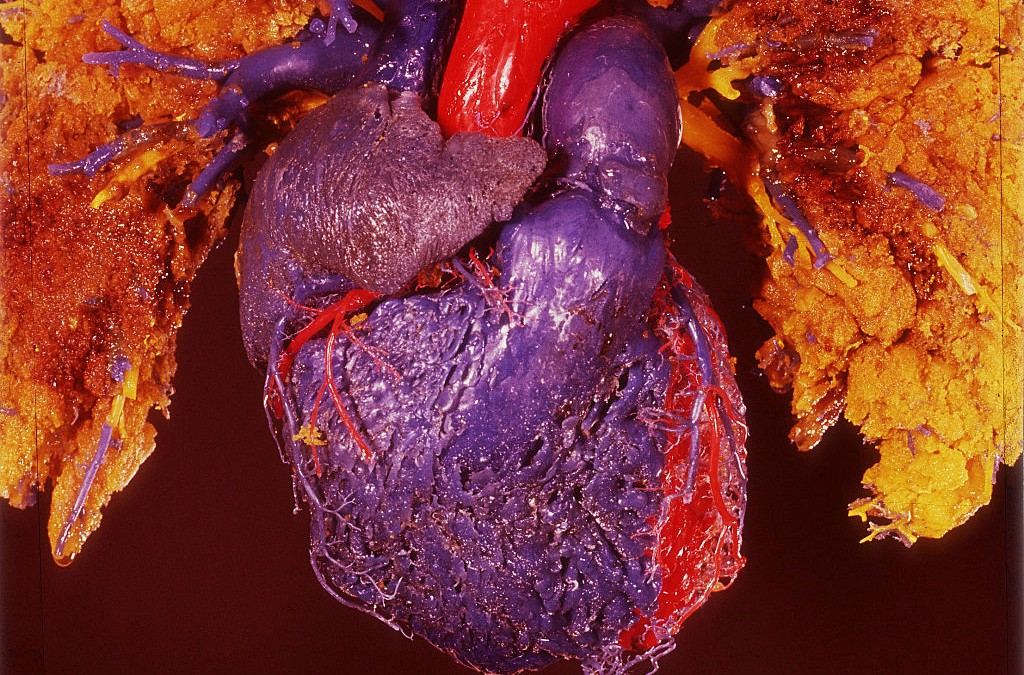 Model of the human heart, posterior view.