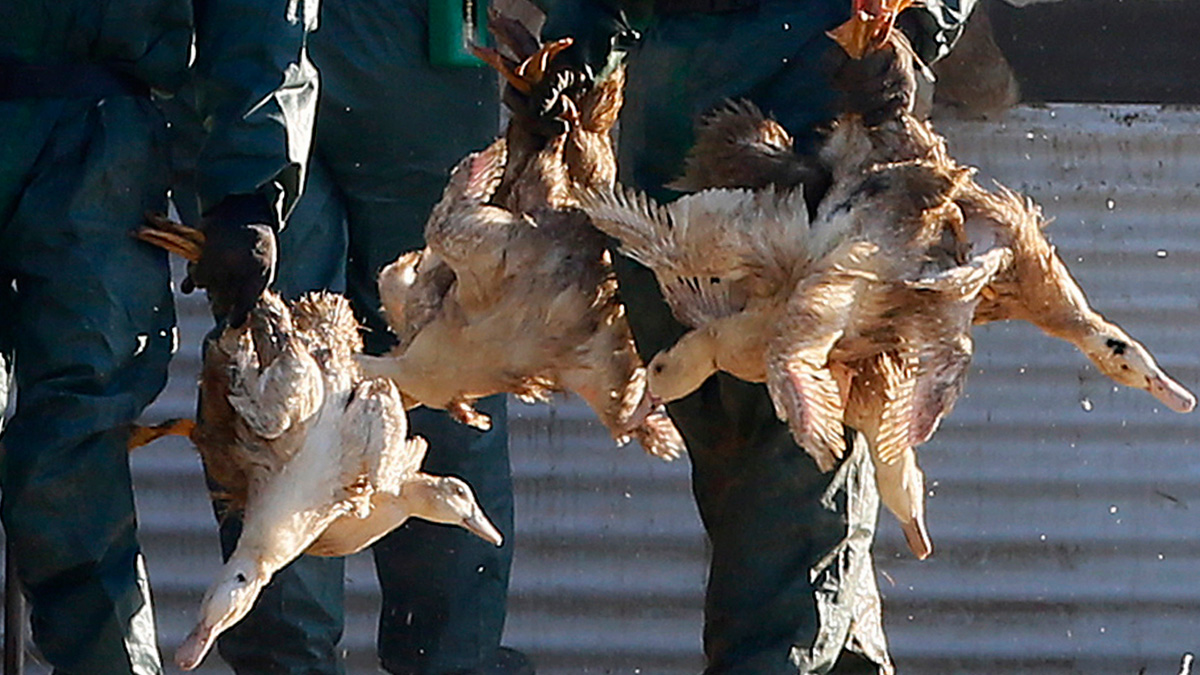 Workers carry ducks before placing them in a bin filled with poison gas in a poultry farm in Latrille, southwestern France, Friday, Jan. 6, 2017, where operations to destroy birds were underway after an outbreak of the H5N8 virus.