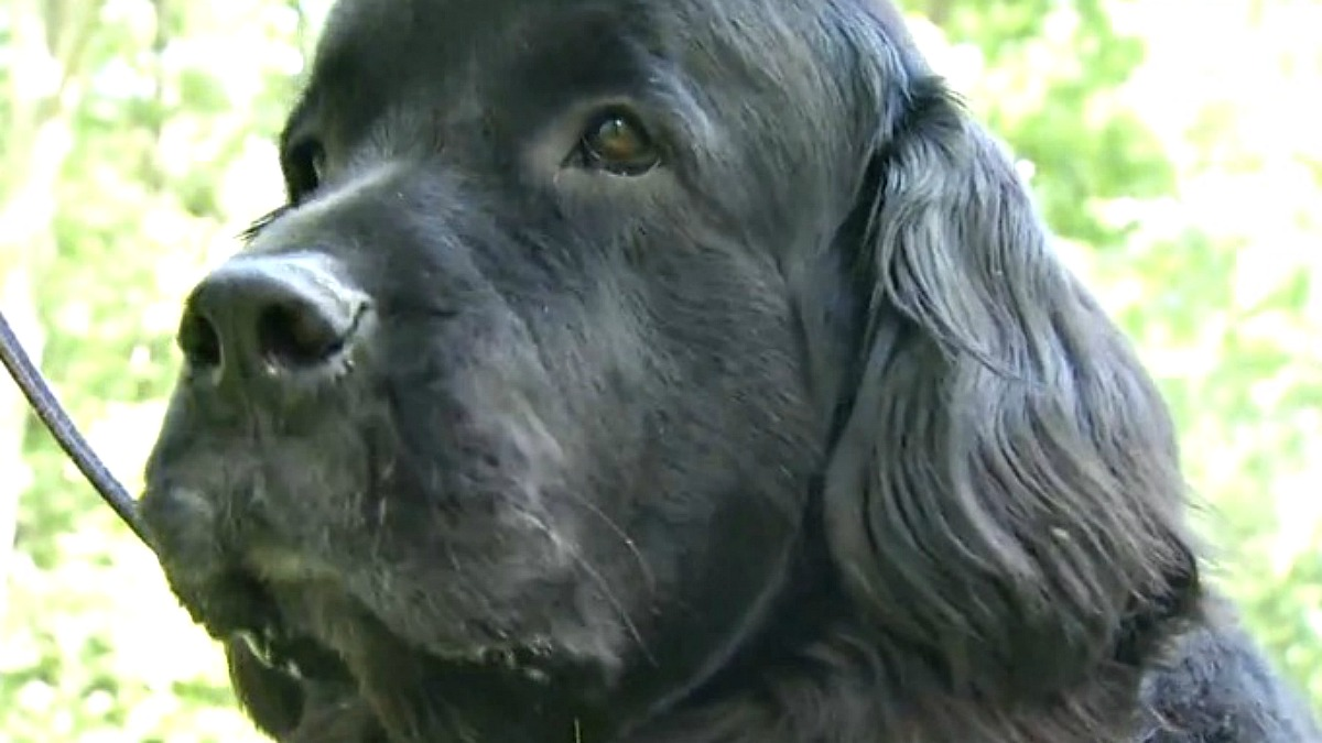 Joy is a four-year-old Newfoundland recovering from Rocky Mountain Spotted Fever.