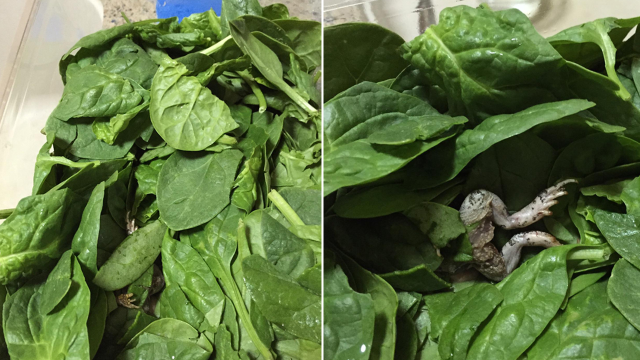 Donna Souza of Covina claims she found a dead frog in a packet of spinach that she bought at a Sam's Club.