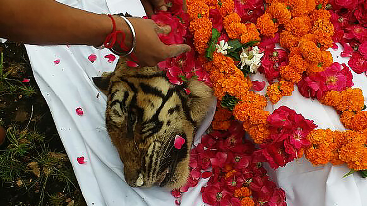 India's most famous tiger, Machali, is cremated with full honor by Forest Department personel and wildlife lovers at Ranthambore National Park in Rajasthan state on August 18, 2016. India's most famous tiger, photographed by thousands of tourists over the years at a popular northern wildlife park, died on August 18, days after the ageing animal stopped eating. / AFP / STR (Photo credit should read STR/AFP/Getty Images)