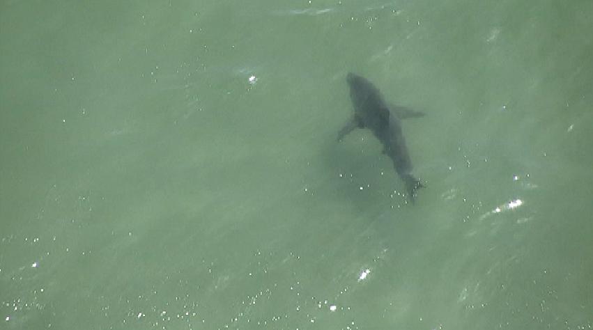 Multiple sharks were seen patrolling the Manhattan Beach coastline Tuesday, Aug. 27, 2013.