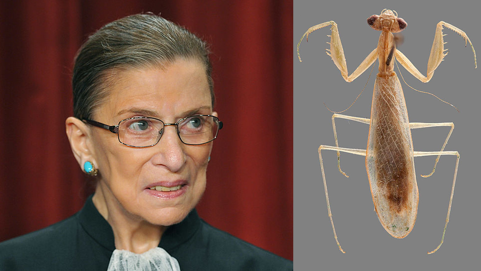 A species of praying mantis (Ilomantis ginsburgae, at right) has been named after Supreme Court Justice Ruth Bader Ginsburg.