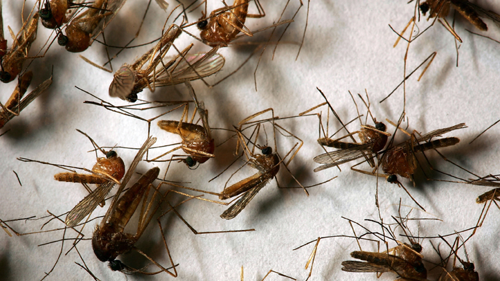 A field sample of mosquitoes that could carry West Nile Virus