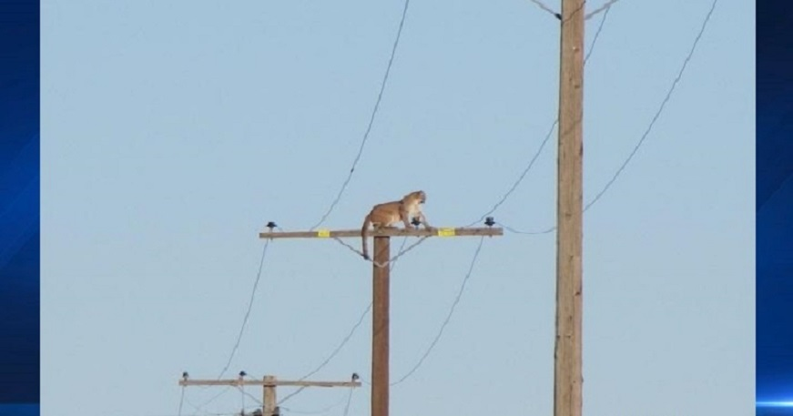 A mountain lion was perched on a 35-foot telephone pole in Lucerne Valley following a Hesperia mountain lion warning on Tuesday, Sept. 29, 2015. Credit: VVDailyPress.com