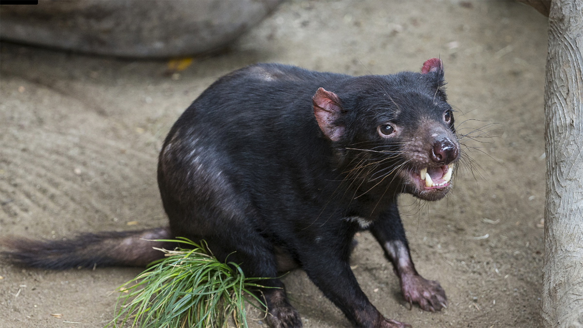 Nick the Tasmanian devil is back home after getting a pacemaker.