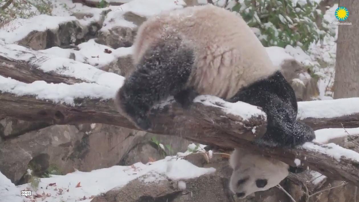 Bei Bei the giant panda.