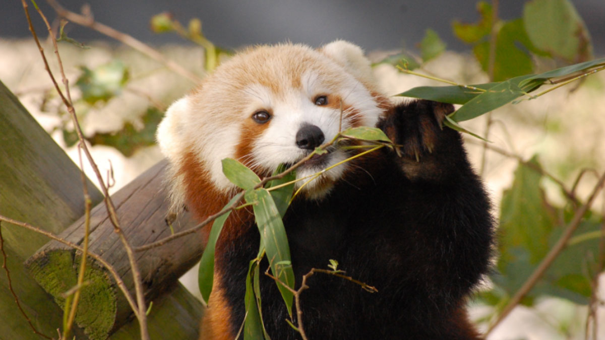 Sunny, a 19-month-old panda, is missing from the Virginia Zoo.