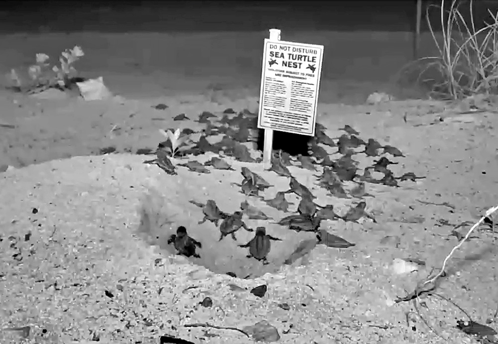 Baby loggerhead sea turtles emerge from a nest on the Florida Keys beach and are captured by an live streaming webcam, illuminated by infrared lighting on a Florida Keys beach Friday, July 25, 2014, near Big Pine Key, Fla.