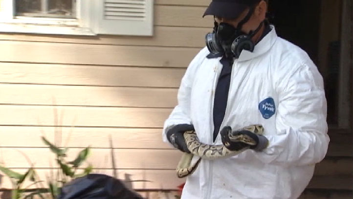 A rescuer removes a ball python from the William Buchman's home in Orange County on Wednesday, Jan. 29, 2014. About 400 snakes, most of them dead, were found.