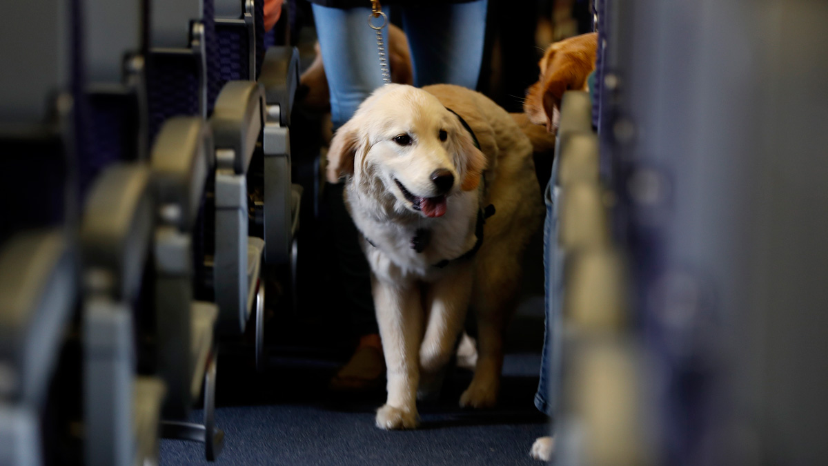 In this April 1, 2017 file photo, a service dog strolls through the isle inside a plane at Newark Liberty International Airport